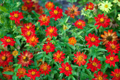 Red Chrysanthemum Background Stock Images