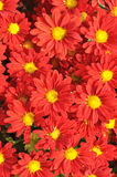 Red chrysanthemum background. Red chrysanthemum flowers cluster, shown as background and flowery pattern Royalty Free Stock Photography