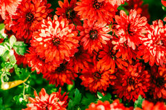 Red chrysanthemum background Stock Photography