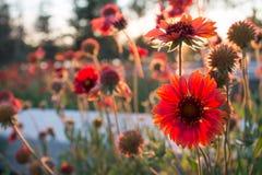 Red chrysanthemum Stock Photo