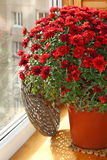Red chrysanthemum on a balcony Stock Image