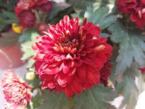 Red Chrysanthemum. Beautiful Red Chrysanthemum is blooming Stock Photos