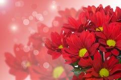 Red chrysanthemum Royalty Free Stock Photo