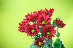Red chrysanthemum. Beautiful red blooming chrysanthemum on green background Stock Photos