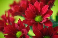 Red chrysanthemum. Beautiful red blooming chrysanthemum on green background Stock Images