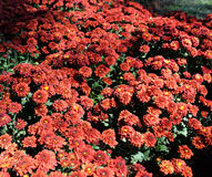 Red Chrysanthemum Black background. Red Chrysanthemum in pot bloom in the garden Flower Royalty Free Stock Photography