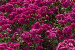 Red chrysanthemum blooming in autumn Stock Photos
