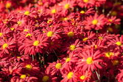 Red chrysanthemum in blossom background Royalty Free Stock Photography