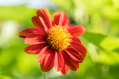 Red chrysanthemum. With Blur background Stock Photos