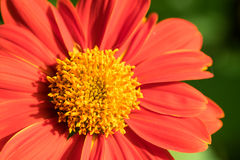 Red chrysanthemum. With Blur background Stock Images