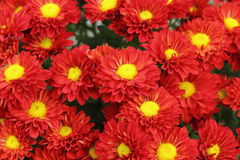 Red chrysanthemum bouquet Royalty Free Stock Images