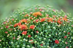 Red chrysanthemum bush in flowerpot Stock Photo