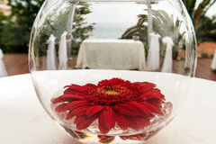 Red chrysanthemum. In a clear vase Royalty Free Stock Image