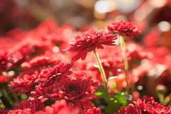Red Chrysanthemum close up. In the warm sunny light Royalty Free Stock Images