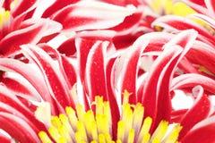 Red Chrysanthemum Closeup Royalty Free Stock Photos