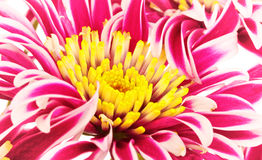 Red Chrysanthemum Closeup Royalty Free Stock Photography