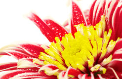 Red Chrysanthemum Closeup Stock Photography