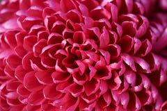 Red Chrysanthemum. Closeup of red Chrysanthemum blooming Stock Photo