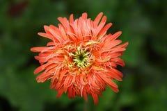 Red Chrysanthemum Closeup Photo Royalty Free Stock Image