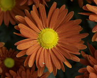 Red chrysanthemum Stock Photography