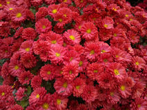 Red chrysanthemum. With drops of dew Royalty Free Stock Photos