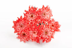 Red Chrysanthemum flower. On white background Royalty Free Stock Photo