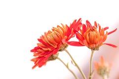 red chrysanthemum flower Stock Image