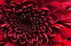 Red chrysanthemum flower Royalty Free Stock Photography