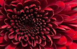 Red chrysanthemum flower. Center of red chrysanthemum flower background Royalty Free Stock Photography
