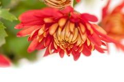 Red chrysanthemum flower Royalty Free Stock Image