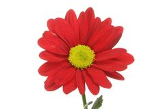Red chrysanthemum flower. Closeup of a red chrysanthemum flower isolated against white Royalty Free Stock Images