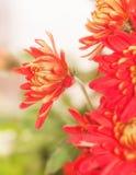 Red chrysanthemum flower Stock Images