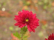 Red chrysanthemum Royalty Free Stock Images