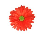 Red chrysanthemum flower isolated on white. Background Stock Photography