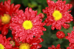 Red chrysanthemum. Flower or red mum flower with water on petals. Also have yellow pistil Stock Photography