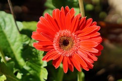 Red Chrysanthemum flower Stock Photography