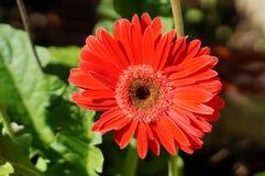 Red Chrysanthemum flower Stock Photography
