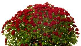 Red Chrysanthemum Flower Time-lapse stock video