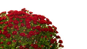 Red Chrysanthemum Flower Time-lapse stock video footage