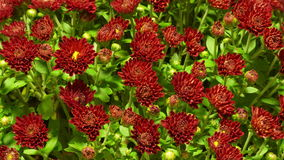 Red Chrysanthemum Flower Time-lapse stock video footage