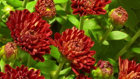 Red Chrysanthemum Flower Time-lapse stock video
