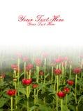 Red Chrysanthemum flower under half white backgrou Stock Photos