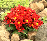 Red chrysanthemum flowers. On a flower bed Royalty Free Stock Photography