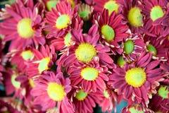 Red chrysanthemum Stock Photos