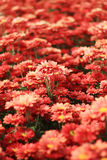 Red chrysanthemum flowers. In background Stock Images