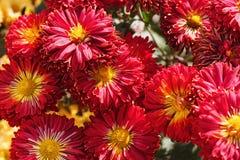 Red chrysanthemum flowers Stock Images
