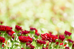 Red chrysanthemum flowers Stock Image