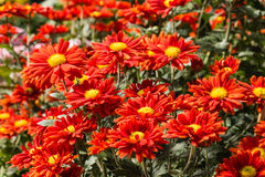 Red chrysanthemum flowers Stock Images