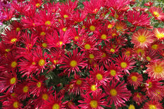 Red chrysanthemum flowers Royalty Free Stock Photo