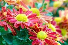 red chrysanthemum flowers in garden Stock Image